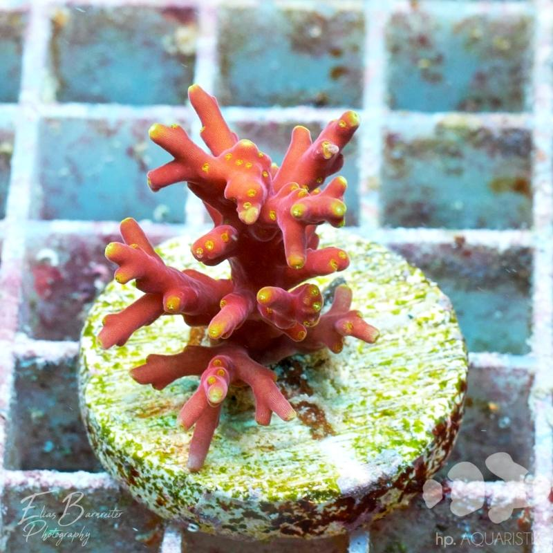 Acropora Echinata Red Dragon
