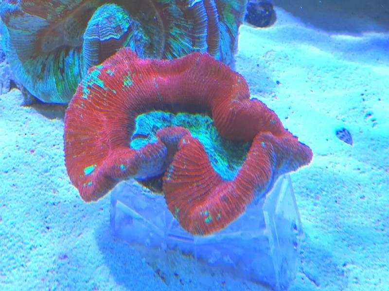 Wulstkoralle - Trachyphyllia ultra red/green